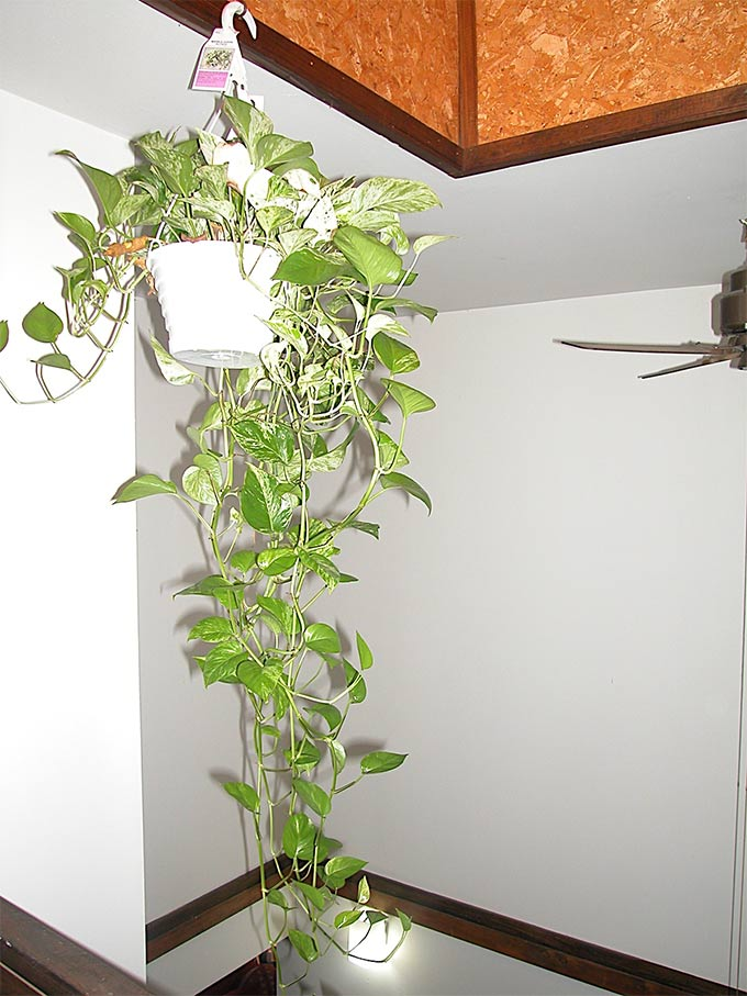 Indoor plants that purify air in living spaces for Planta tropical interior