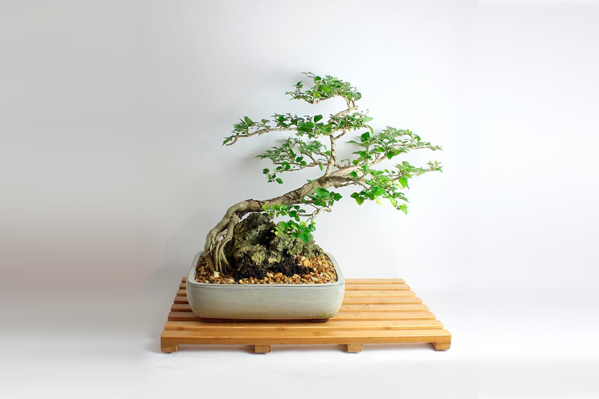 Parrots Beak bonsai tree