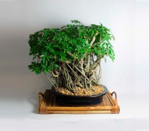 20 Year Old Schefflera Bonsai Tree