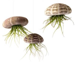 Jellyfish Hanging Planters: Let's start with something especially impressive, perfect for modern and classic interiors alike. Sea urchin shells form the body of the jellyfish and the long tendrils of the tillandsia air plants represent the hypnotic tentacles – just hang them up with the included clear string and enjoy the illusion of jellyfish floating gracefully as if underwater.
