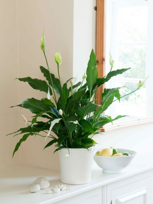 32 beautiful indoor house plants that are also easy to maintain - Low Light Flowering House Plants