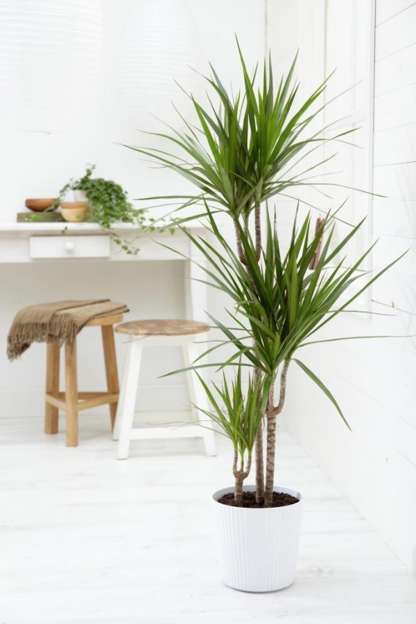 Indoor plant that looks like a palm tree