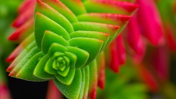 Cool Product Alert: The Alluringly Beautiful Crassula Capitella Succulent