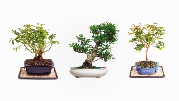 Product Of The Week: Beautiful Bonsai Trees