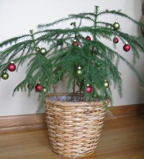 zimmerpflanze Weihnachtsbaum