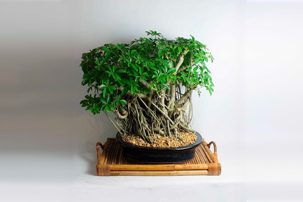 Product Of The Week Bonsai Trees